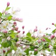 Apple blossoms — Stockfoto #4468198