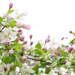 jabloňové květy — Stock fotografie