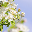 Blooming apple tree — Stock Photo #4468213