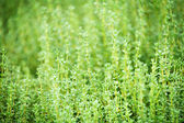Thyme plants — Stock Photo