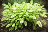 Sage plant — Stock Photo