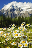 Daisies at Mount Robson provincial park, Canada — Stock Photo