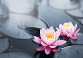 Lotus blossoms — Stock Photo