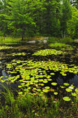 Lily pads on lake — Stock Photo