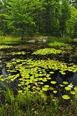 Lily podkładki na jezioro — Zdjęcie stockowe