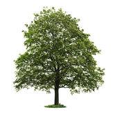 Na białym tle klon dojrzałe drzewo — Zdjęcie stockowe