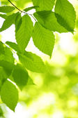 Green spring leaves — Stock Photo