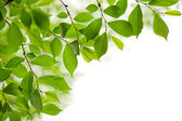 Green spring leaves on white background — Stock fotografie