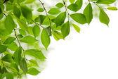 Yeşil bahar beyaz zemin üzerine bırakır — Stok fotoğraf