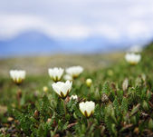 Alpine meadow in Jasper National Park — Stock Photo
