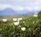 Alpine meadow in Jasper National Park — Stock Photo