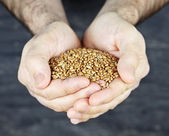 Hands holding grain — Stock Photo