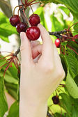 Hand picking cherries — Stock Photo