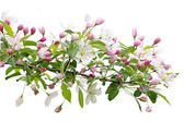 Blooming apple tree branch — Stock Photo