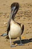 Pelican on beach in Mexico — Stock Photo