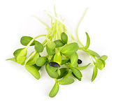 Green sunflower sprouts — Stock Photo