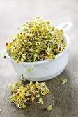 Brotes de alfalfa en una taza — Foto de Stock