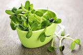 カップに緑のヒマワリ芽 — ストック写真