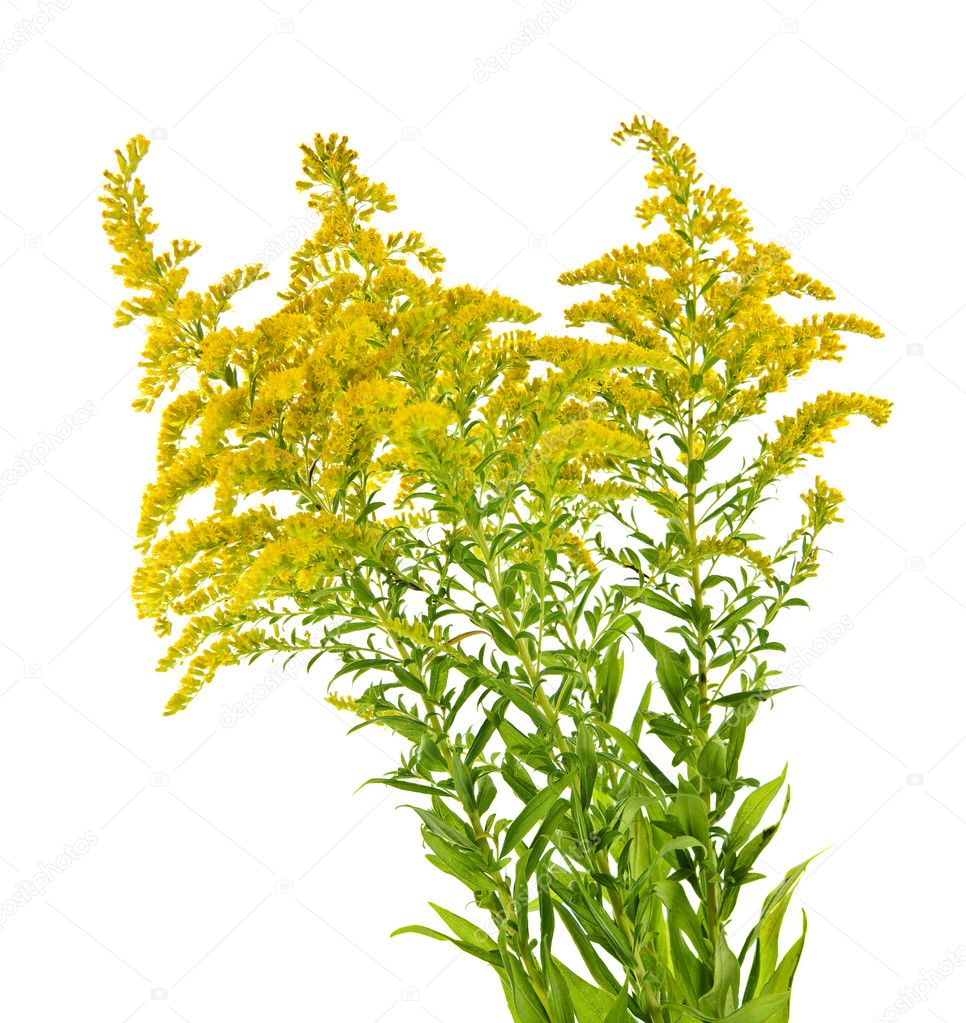 goldenrod chatrooms Later, sweet goldenrod became a cash crop in the united states it was even exported to china, where it sold at high prices as a tea substitute to make tea from sweet goldenrod, harvest the plants just before they come into bloom, usually in august if you wait too long, the leaves may have a slightly acrid or bitter taste.