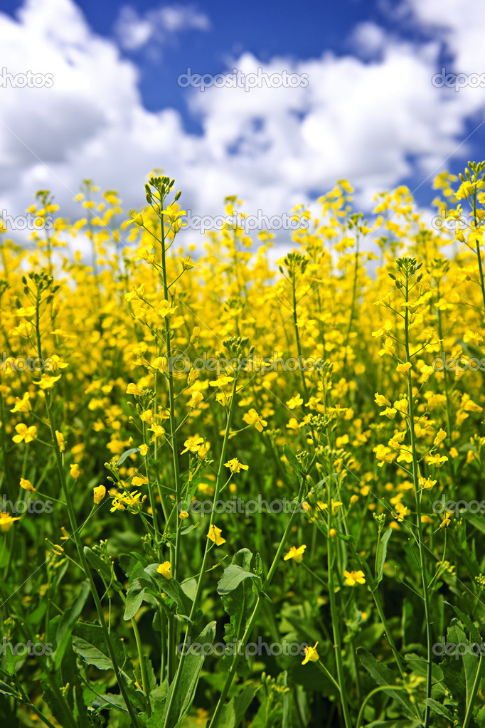 Canola or rapeseed plants growing in farm field, Manitoba, Canada — Stock Photo #4466522