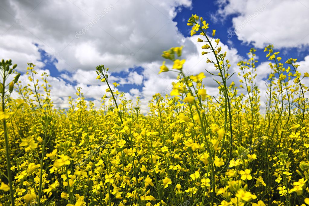 Canola or rapeseed plants growing in farm field, Manitoba, Canada — Stock Photo #4466545