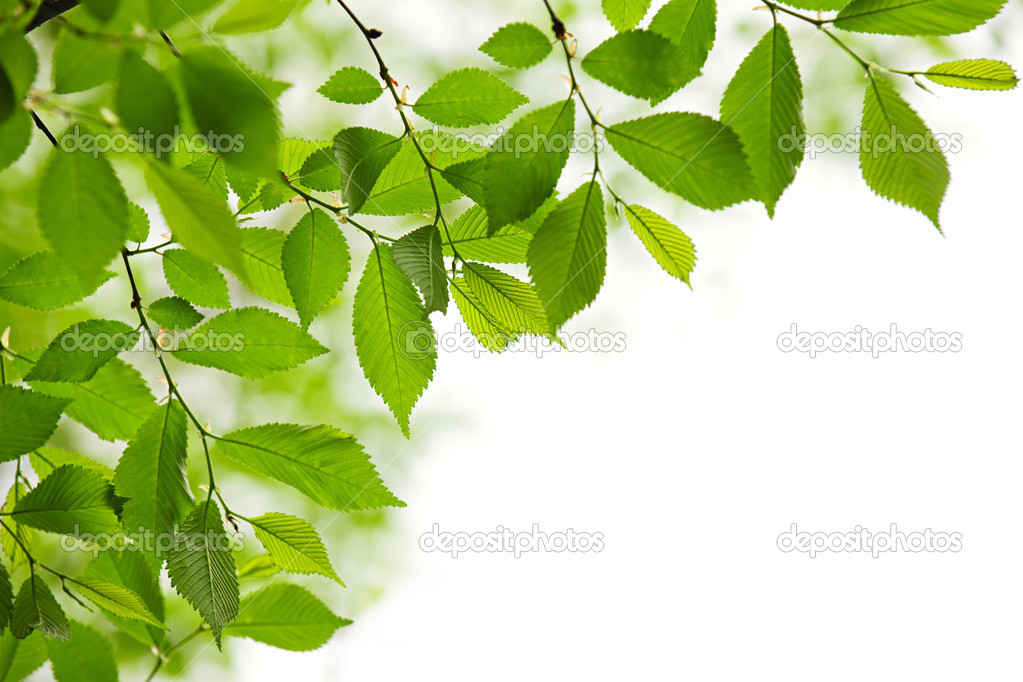 Green spring leaves isolated on white background  Stock Photo #4467544