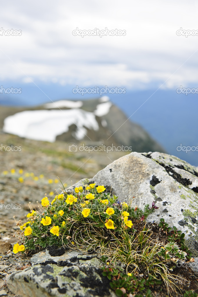 Alpine meadow with potentilla flowers blooming on Whistlers mountain in Jasper National Park, Canada — Stock Photo #4467617