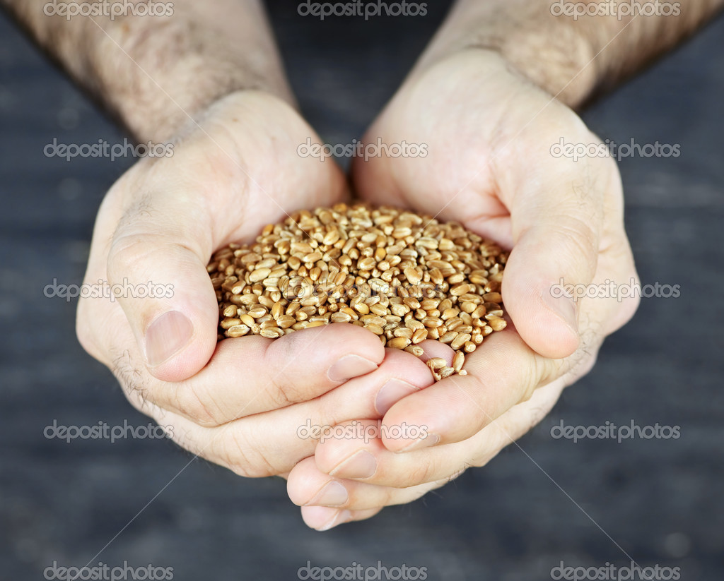 Male cupped hands holding whole wheat grain kernels — Stock Photo #4467668