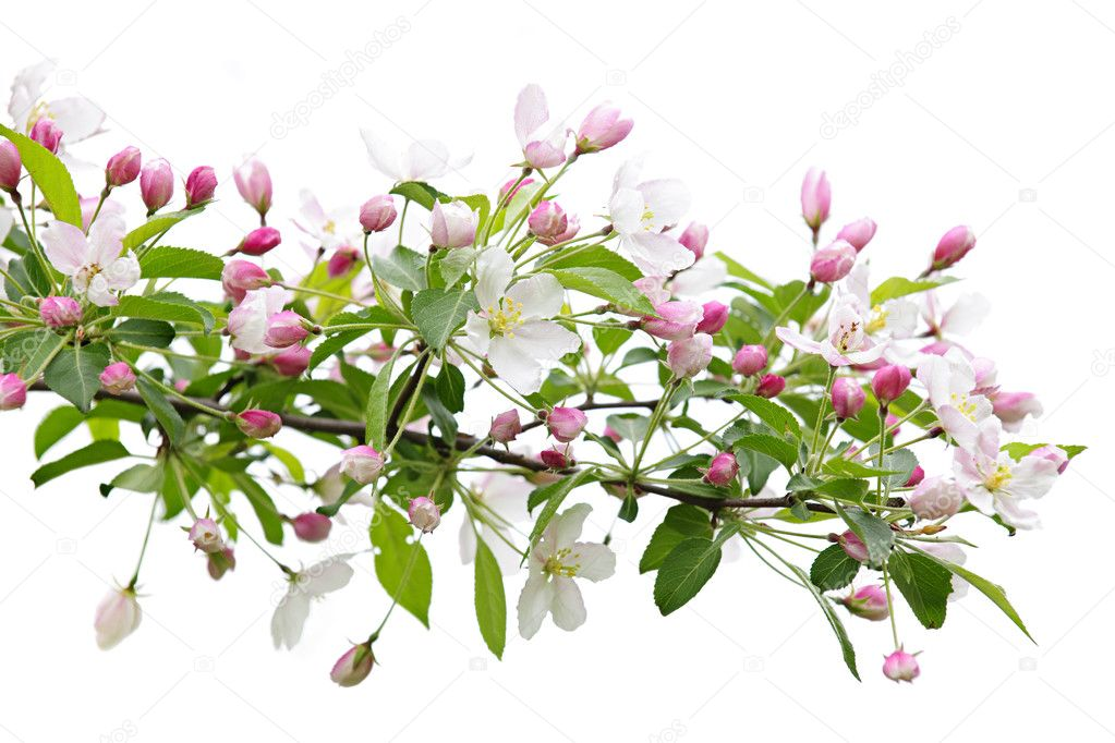 Blooming apple tree branch isolated on white background — Stock Photo #4468197