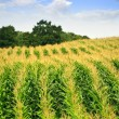 Corn field — Stock Photo #4471045