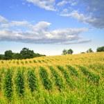Corn field — Stock Photo #4471048