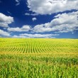 Foto Stock: Corn field