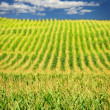 Corn field — Stock Photo #4471070