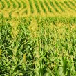 Corn field — Stock Photo #4471074