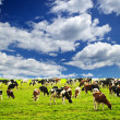 Cows in pasture - Foto de Stock  