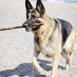 German Shepherd dog on beach — Stok fotoğraf