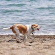 Dog running on beach — Stock Photo