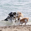 Three dogs playing on beach - Stock Photo