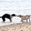 Two dogs playing on beach - 图库照片