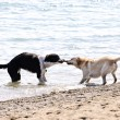 Two dogs playing on beach - Stockfoto