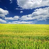 Kukuřičné pole — Stock fotografie