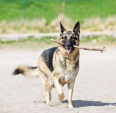 German Shepherd dog on beach — Stock Photo