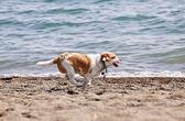 Dog running on beach — Stock Photo