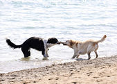 Two dogs playing on beach — Stock Photo