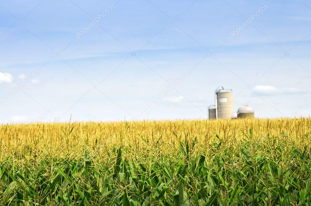 Field Landscape Vector Landscape of Corn Field on
