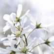 Gentle white spring flowers — Stock Photo