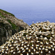 Gannets at Cape St. Mary&#039;s Ecological Bird Sanctuary - Stok fotoraf