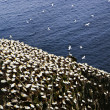 Gannets at Cape St. Mary's Ecological Bird Sanctuary — Stock Photo