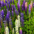 Purple and pink garden lupin flowers - Foto Stock