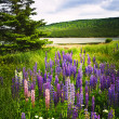 Stock Photo: Purple and pink garden lupin flowers